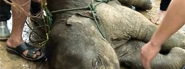 The elephant calf that was rescued by locals of Sanis town in Nagaland's Wokha district