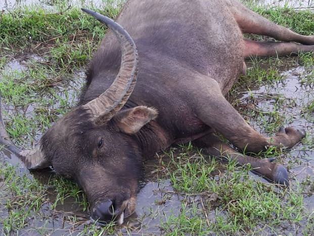 'Epidemic' kills 70 buffaloes in Nagaland's Dimapur district