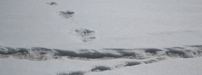 Footprint of mysterious beast 'Yeti' measuring about 32x15 inches.