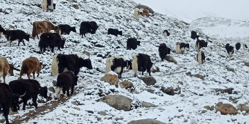 Yaks traverse across the cold desert region of North Sikkim in search of grazing grounds