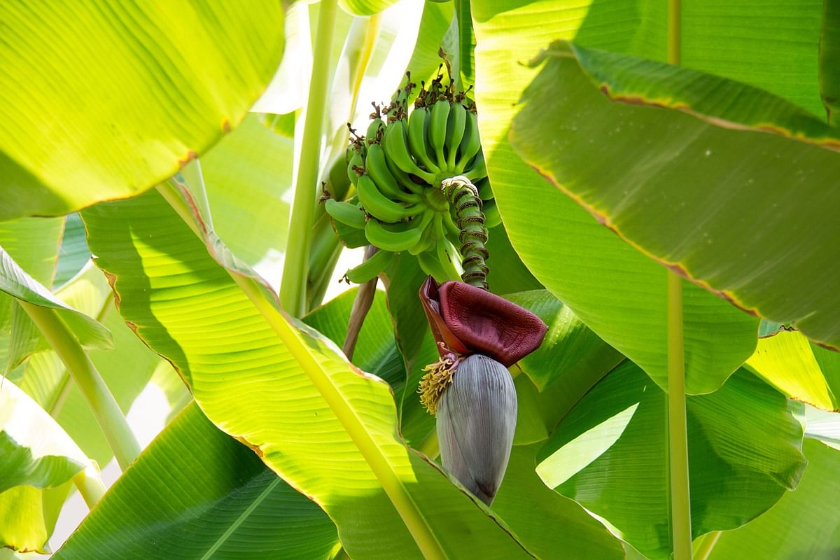 Banana tress are found throughout the year in tropical places such as the Northeast