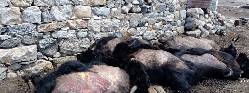 The yaks died due to starvation earlier this year due to heavy and prolonged snowfall in Muguthang and Lashyar valley and Lachen valley