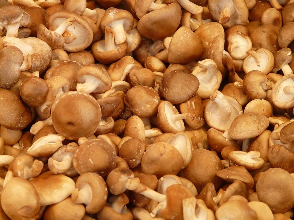 Japanese shiitake mushroom to be available in Manipur markets soon