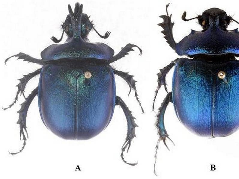 Arunachal Pradesh: New species of dung beetle found in Tawang