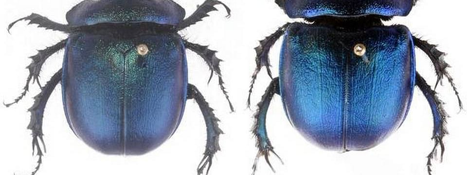 A shining, dark-blue colour species of dung beetle was found in Arunachal Pradesh