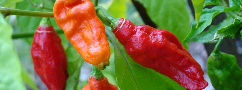 In 2007, bhut jokolia was recorded as the hottest chili in the world