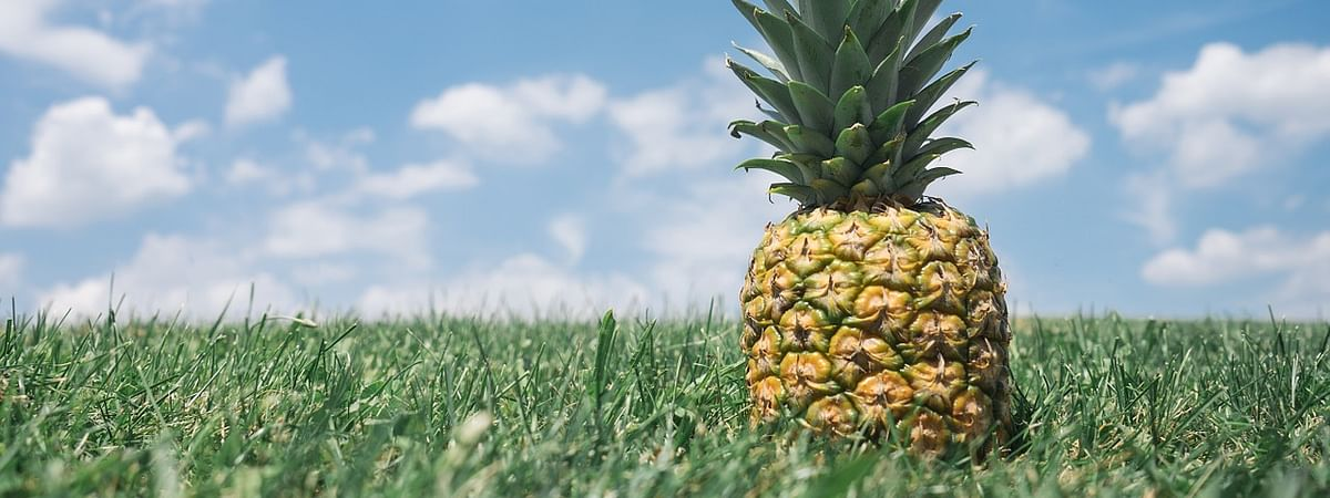 Pineapples are being cultivated in over 8,800 hectares of land across the state