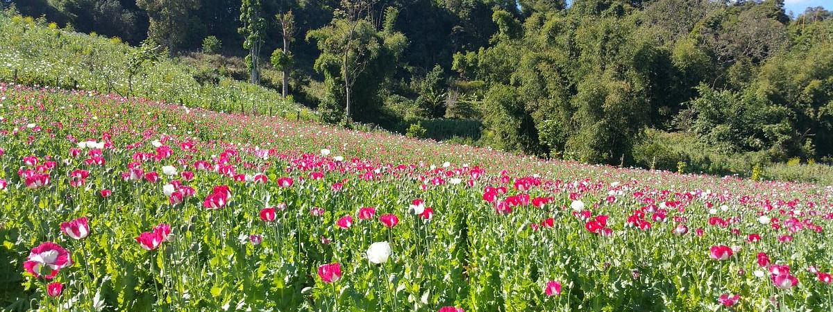 The state will need to introduce a horticulture-based alternative livelihood programme for poppy farmers, said Manipur CM N Biren Singh