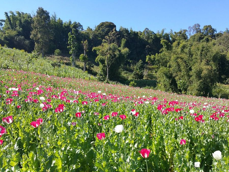 Manipur to introduce alternative livelihood for poppy farmers