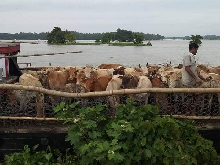 Cattle being transported out of a submerged area in Assam's Kaziranga National Park