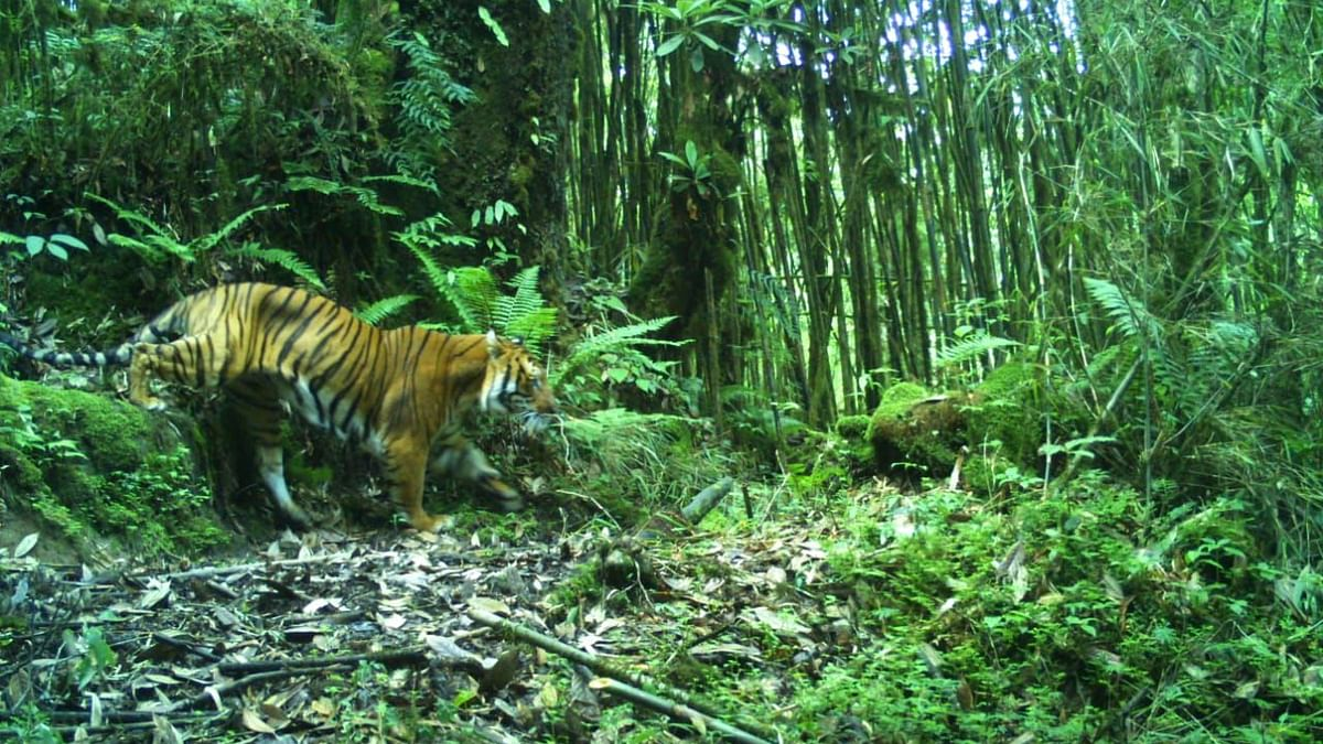 Are Bengal tigers shifting base to Sikkim due to climate change?
