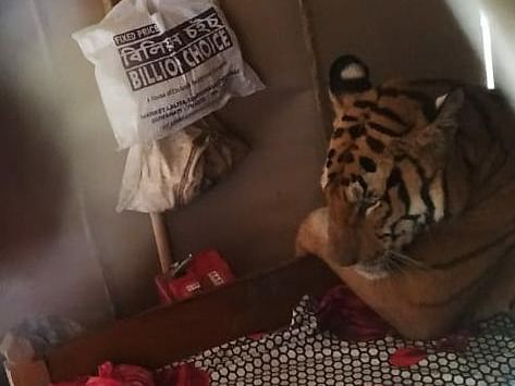 Tiger makes itself at home to escape Assam floods, pic goes viral