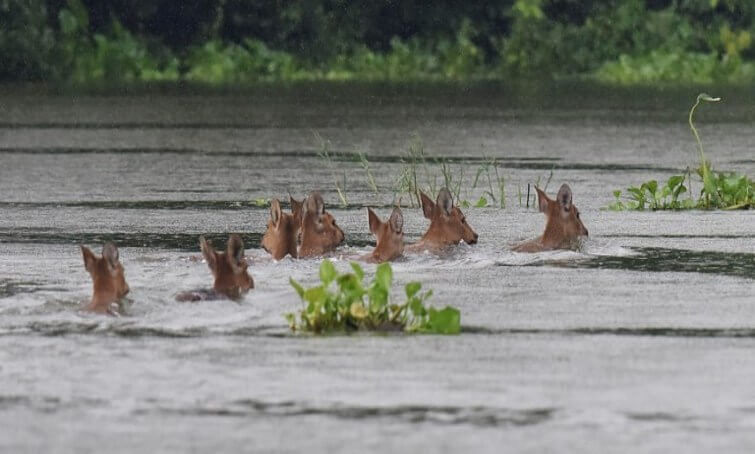 Deer swimming out of submerged areas in Kaziranga National Park in Assam