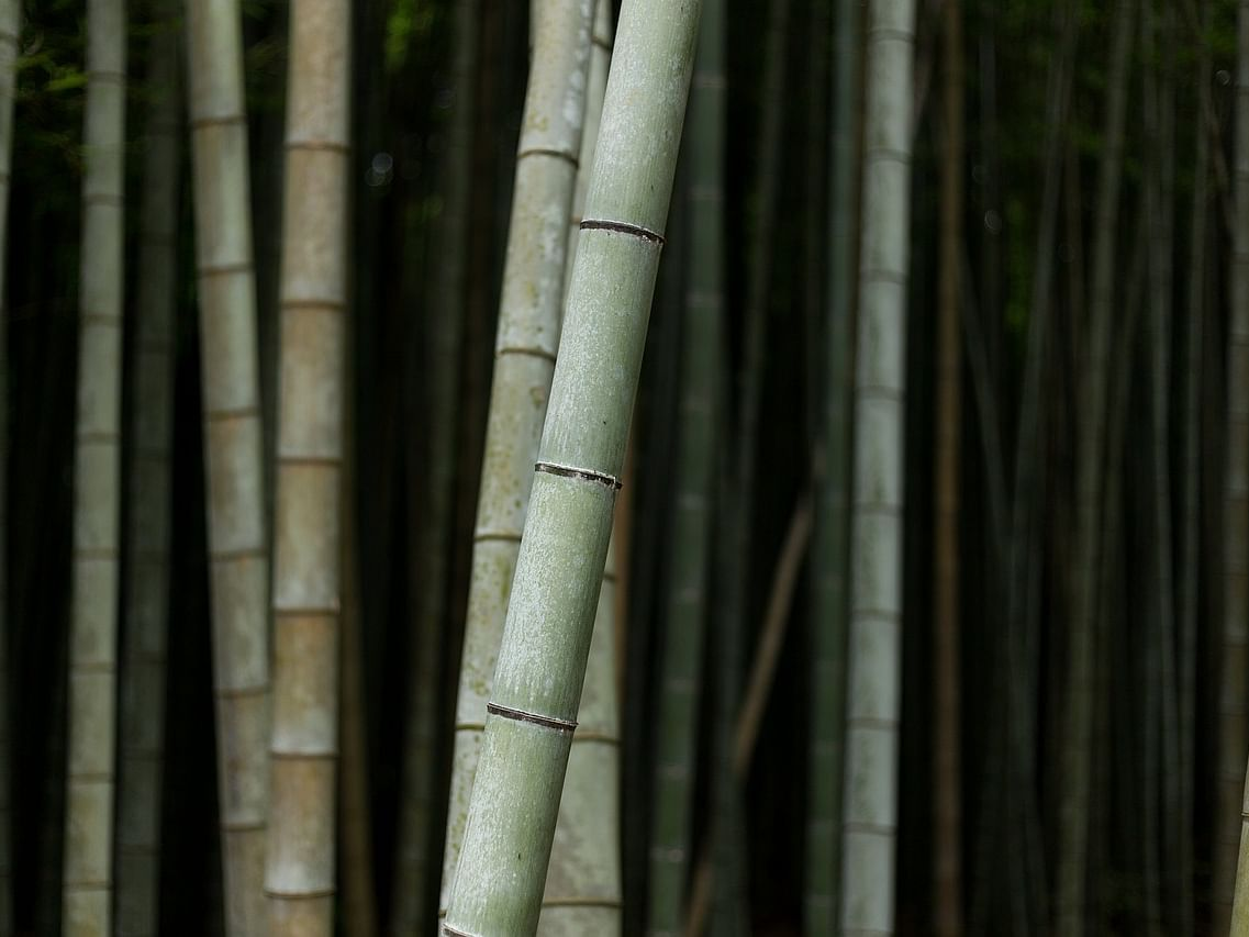 95% of Mizoram's bamboo plantation fit for products, say experts