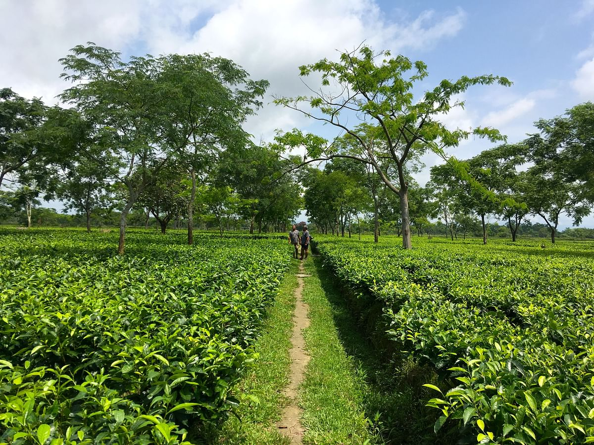 Within two decades or more, the contribution of small tea producers has been close to 60% in West Bengal and 52% in Assam