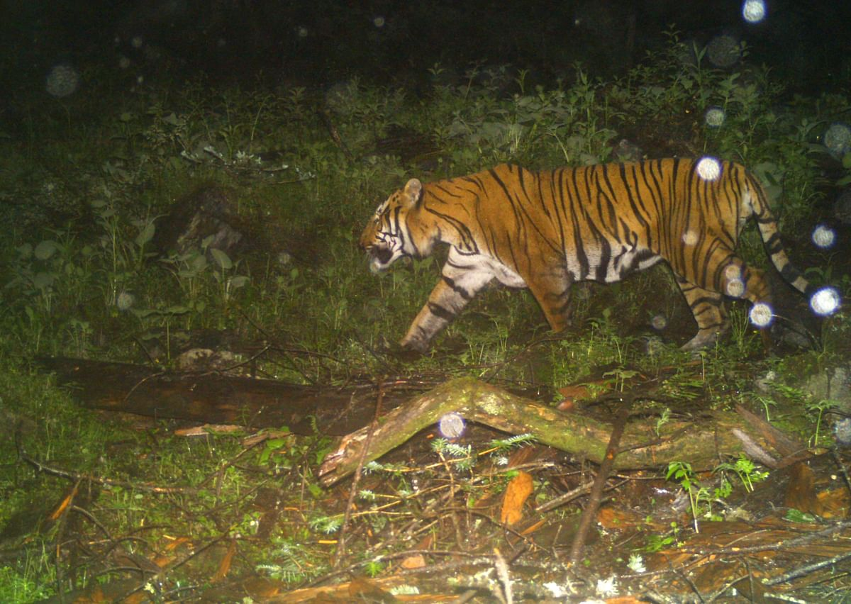 Over the course of years, Sikkim has been accustomed to legendary stories of tigers being found, but those were mere oral evidence