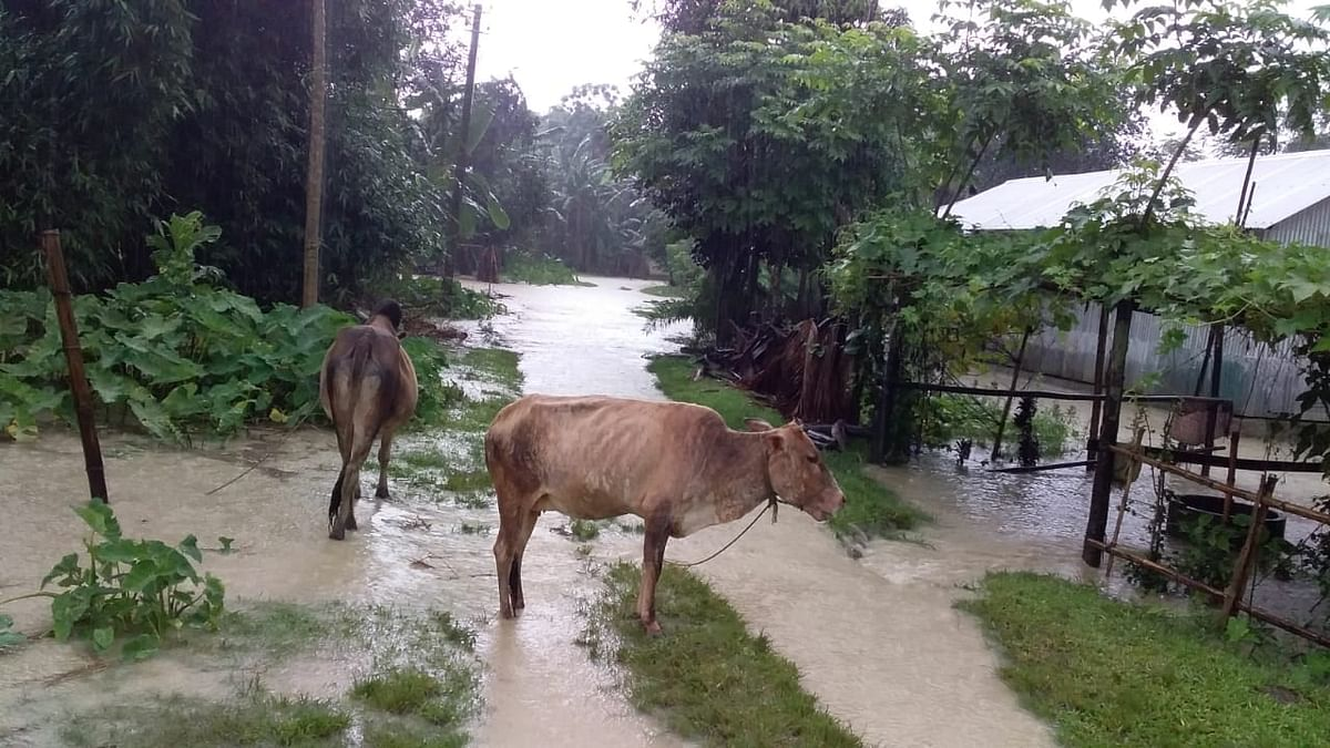 Villagers moving their live stocks to higher areas for safety