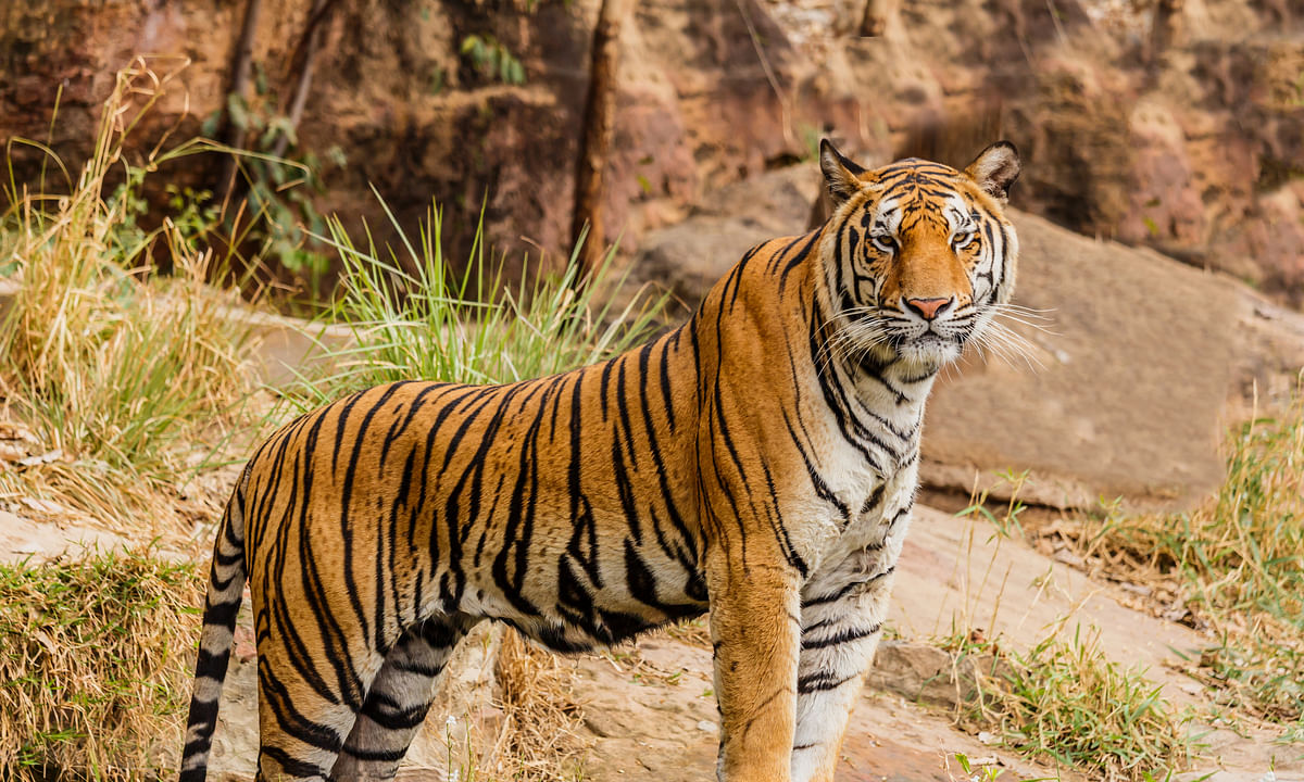 India home to 3,000 tigers, population up 30% in 4 yrs: PM Modi