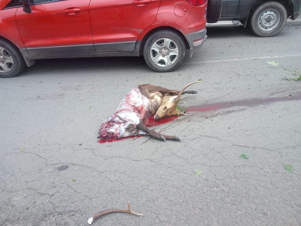 A wild deer that was crushed to death by a vehicle near Kaziranga National Park in Assam