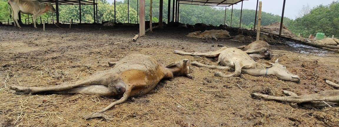 A total of 159 cows have died since May 14 after the Delhi-based NGO Dhyan Foundation took cows seized by BSF from border outposts across Tripura under its care