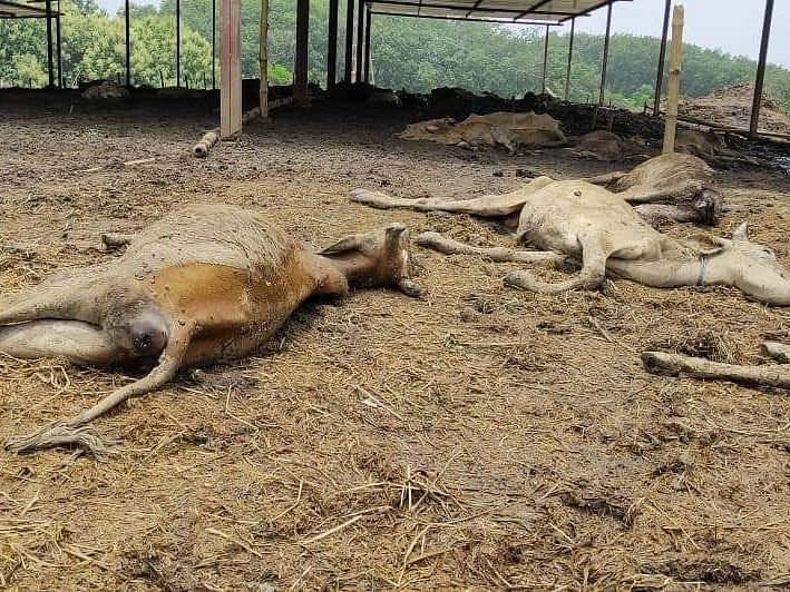 159 cows seized by BSF die in Tripura shelter since May 14