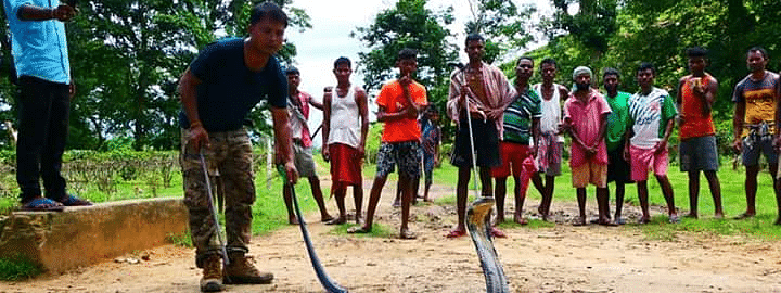 A 14-ft-long king cobra being rescued from Jiajuri tea estate in Assam's Nagaon district
