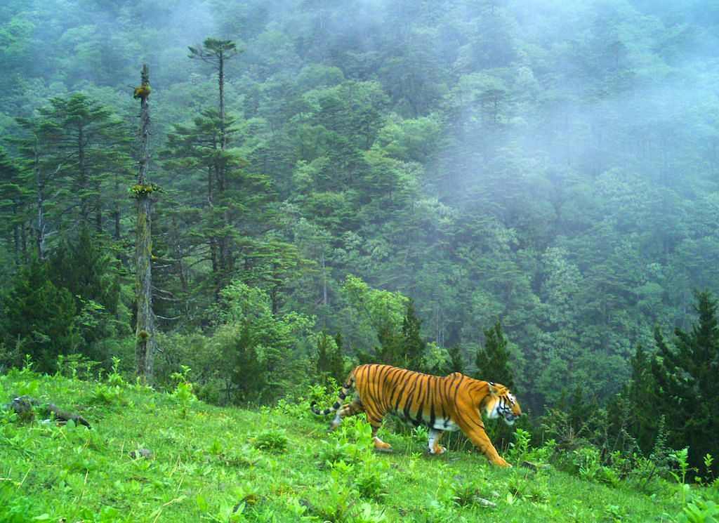One of these animals, a male, was photographed at an elevation of 3,600 m which is one of the highest altitudes that tigers have been recorded at in India thus far