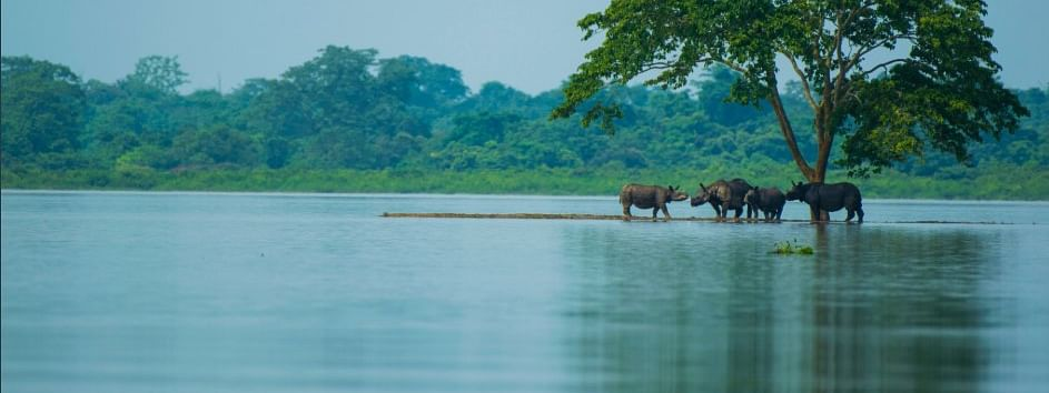 About 155 wild animals have drowned in flood waters of Kaziranga National Park