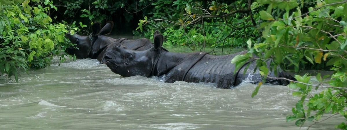 World famous one-horn rhinos are moving towards high-land areas due to flood