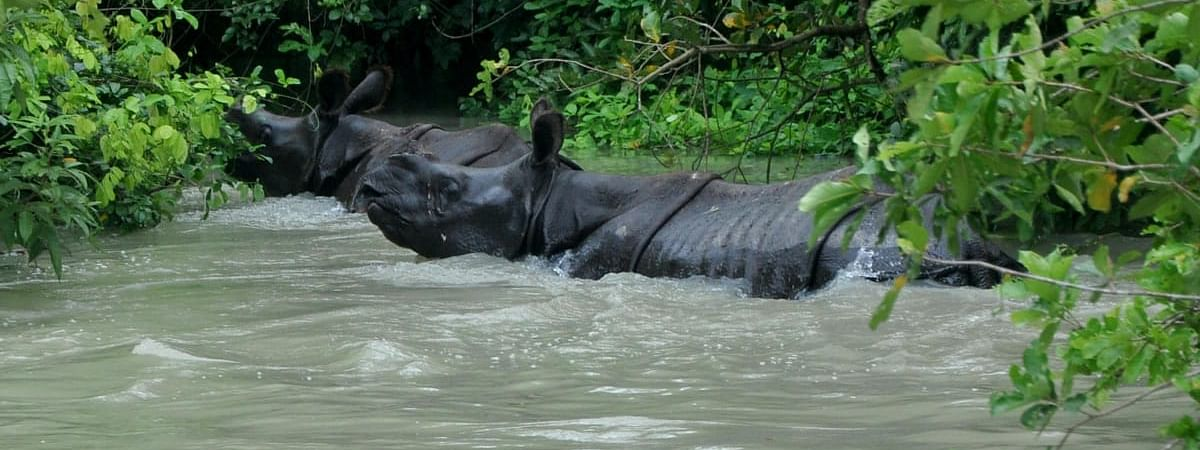 The world famous one-horn rhinos at Pobitora Wildlife Sanctuary moving towards highland areas due to flood