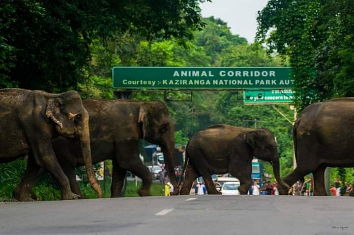 Wild elephants moving to higher grounds to avoid flood waters in Kaziranga National Park in Assam