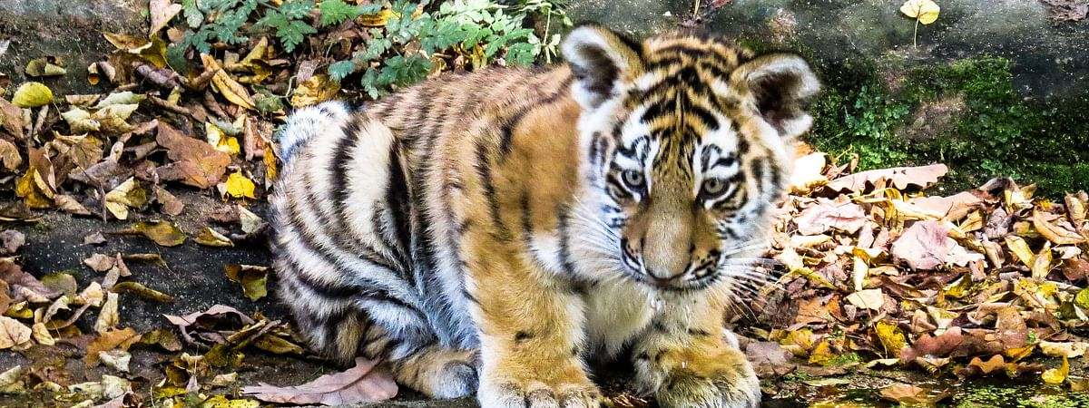 The six-month-old cub made its first public appearance on July 28, at the park's safari zone as part of International Tiger Day celebrations