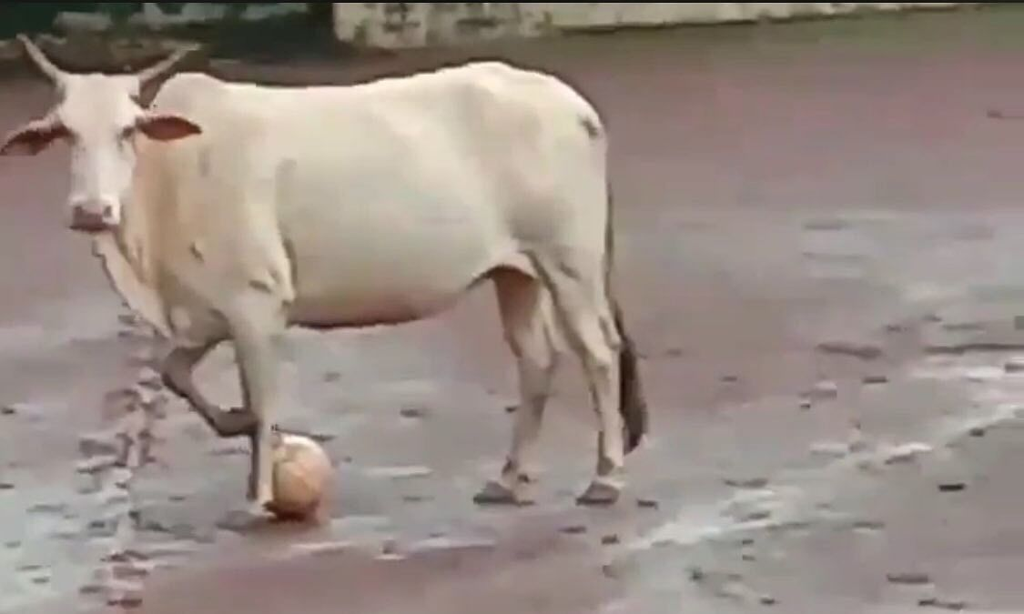 Gai-chung Bhutia? This cow's skills will give you football goals!