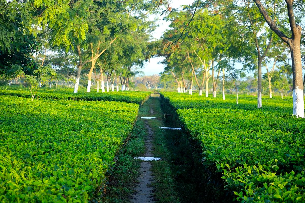 Tea Board of India sources said that the annual production of tea in 2018-19 is expected to be around 1,334 million kg