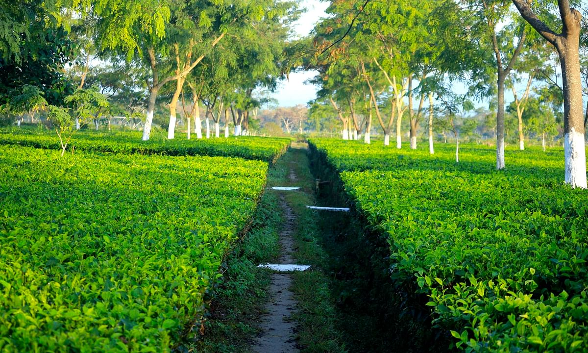 Why Assam needs a dedicated 'ministry of tea'