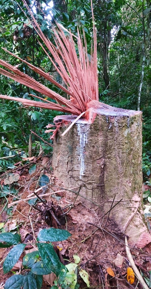 Illegal feeling of trees found inside Lakhipathar reserve forest in Tinsukia district of Assam