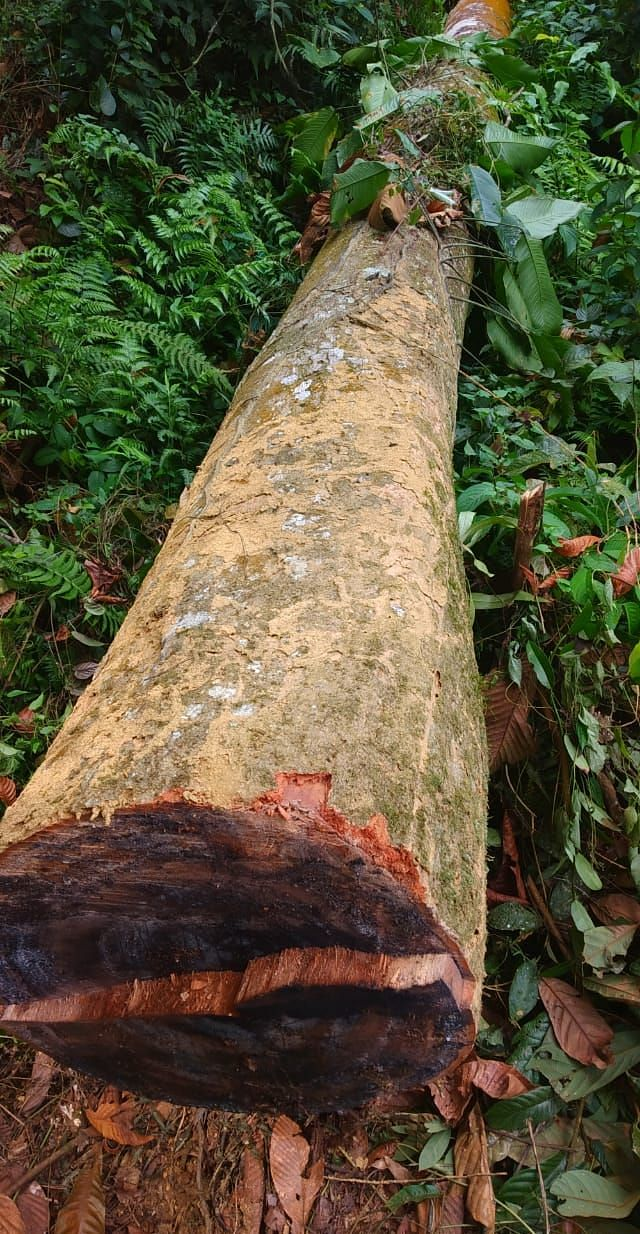 One of the felled trees in Tinsukia district of Assam