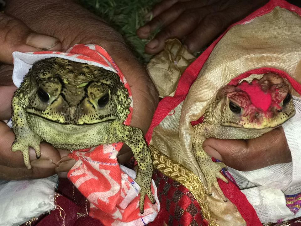Heat's on: Assam villagers hold 'frog wedding' to appease rain god