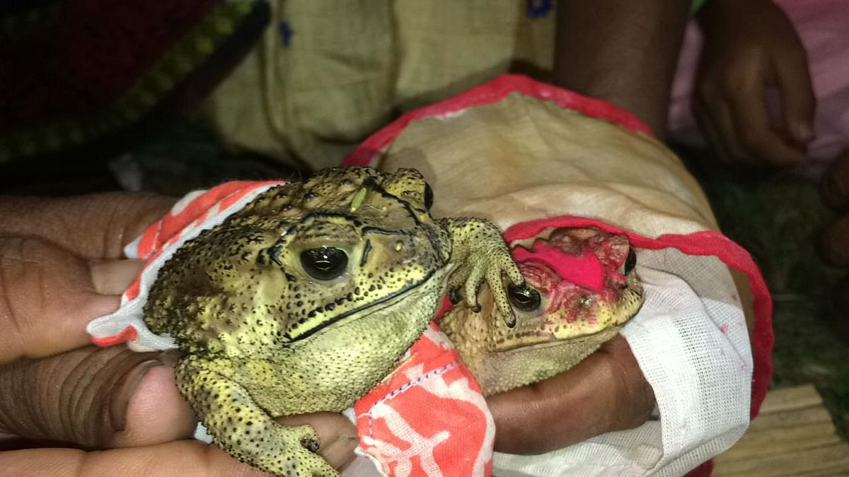 Frog weddings are accomplished in parts of Assam, like other parts of the country, according to Hindu Vedic rituals