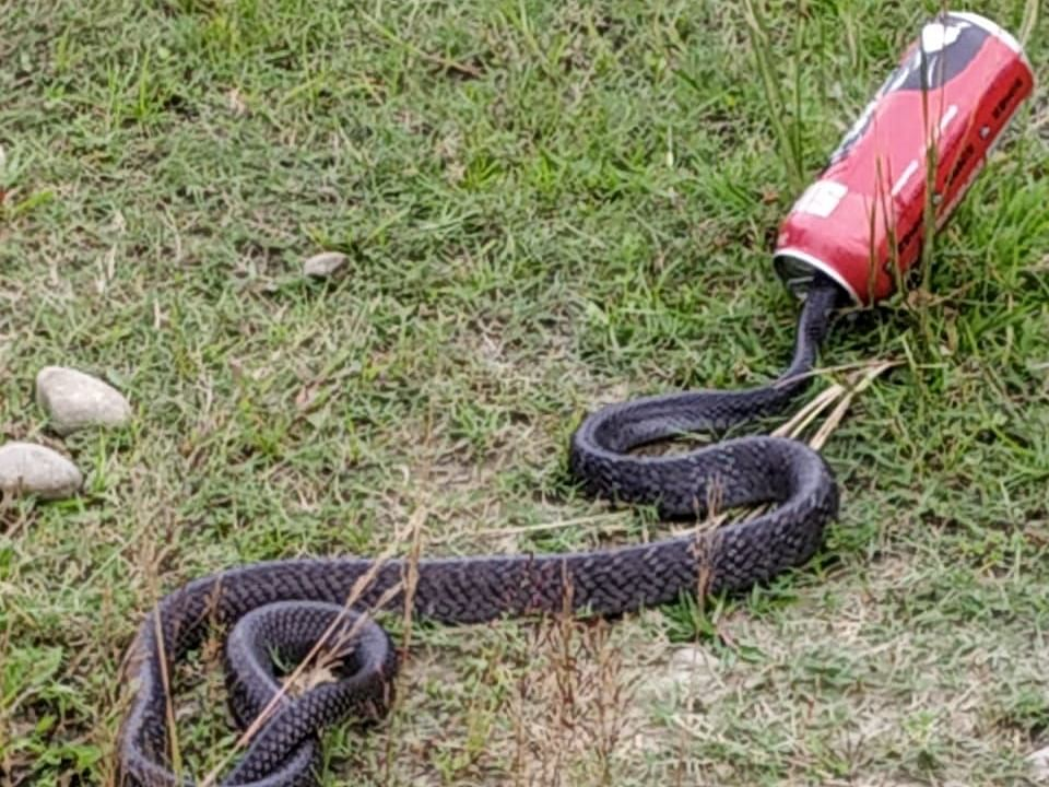 WATCH: How a monocled cobra got its head stuck in empty beer can
