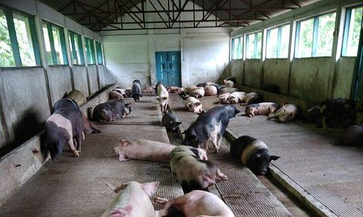 Mizoram govt sounds alert for pig-borne diseases across state