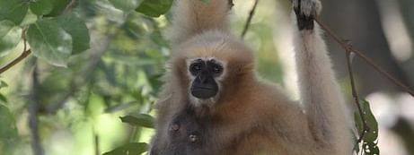 Hoolock gibbon is a rare and endangered species
