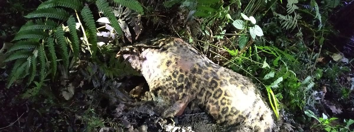 One of the leopards that was found dead inside the Manas National Park in Assam