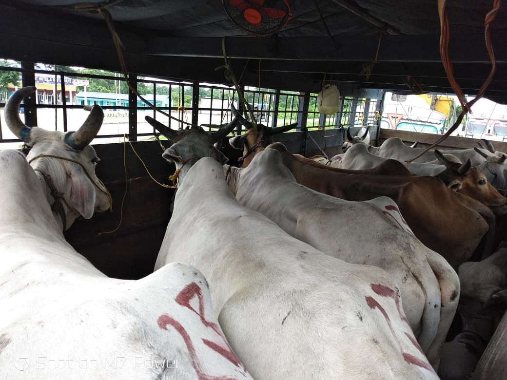 Assam: 5 trucks with 80 cattle seized; firm claims to have papers