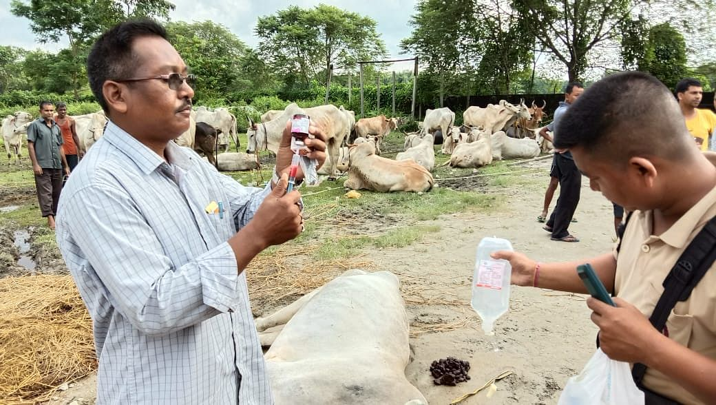 Veterinary doctors attending to the affected cows in Assam's Kokrajhar district