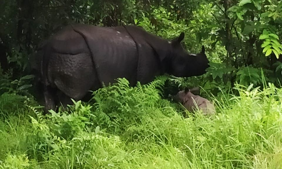 Assam: Manas National Park welcomes second rhino calf in 2019