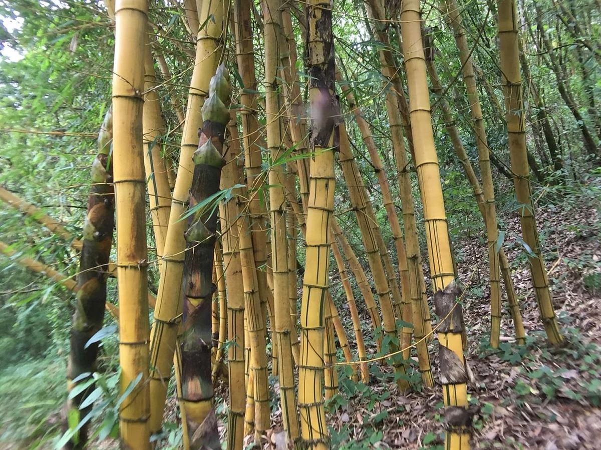 Today, the Maru Langol hill range in Manipur is home to over 200 different types of plants and 20 varieties of bamboo