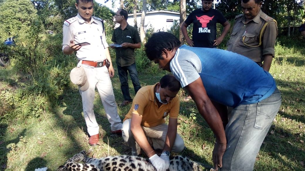 Veterinary doctors collecting samples from the carcass of a male leopard for post-mortem at Borhapjan in Assam's Tinsukia district