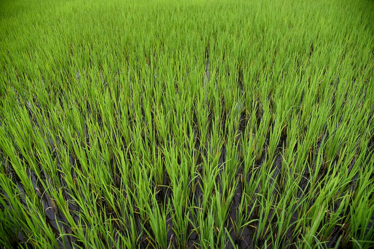 Lush green paddy fields in early July at Ziro Valley
