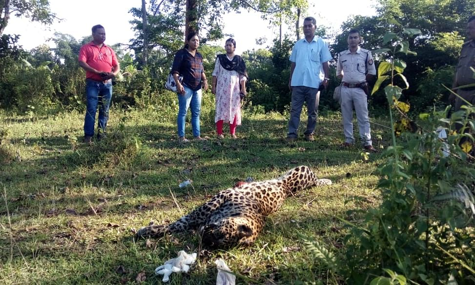 Assam:  Carcasses of leopard, black panther recovered in Tinsukia